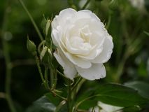 Single white rose, blooming. Beautiful white rose blooming in a garden royalty free stock photo