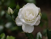 Single white rose, blooming. Close up of a blooming white rose with soft background royalty free stock images