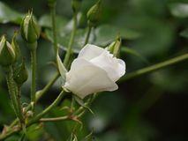Single white rose, blooming. White rose and white rosebuds in a garden stock photos
