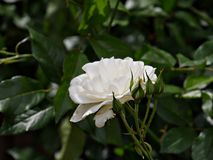 Single white rose, blooming. Side view of a blooming white rose with rosebuds royalty free stock images