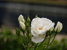 Single white rose, blooming. Blooming white rose, with soft background royalty free stock photo