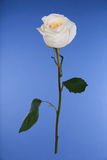 Single white rose on blue Stock Photography