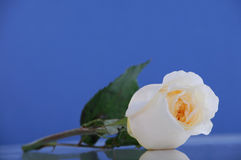 Single white rose on blue Royalty Free Stock Photo
