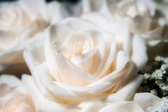 Single white rose with dew. White rose blossom with dew Royalty Free Stock Photo