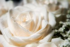 Single white rose with dew (left). White rose blossom with dew (left Royalty Free Stock Image