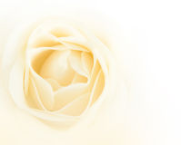Single white rose flower Stock Images