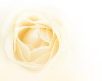 Single white rose flower Stock Images
