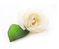 Single white rose flower with leaf Stock Photos