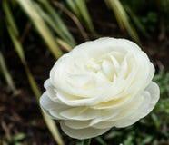 White Rose. Single white Rose in a garden Stock Photos