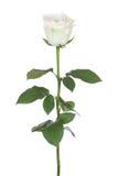 Single white rose. Single white rose, isolated on the white background Stock Photos