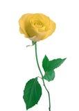 Single white Rose isolated Stock Photography