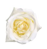 Single white rose Stock Photography