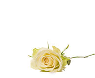 Single white rose with leaves and stem Stock Image