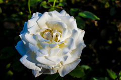 A single white rose. Stock Photo