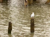 Single white seagull standing on wooden pole in sea water. Essex; england; uk Royalty Free Stock Photography