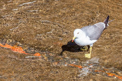 Single white seagull walking in clear water. Stock Photo