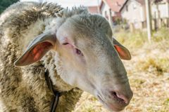 Single white sheep grazing Royalty Free Stock Photos