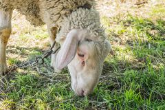 Single white sheep grazing Royalty Free Stock Images