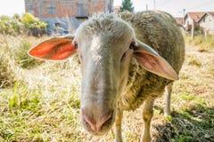 Single white sheep grazing Royalty Free Stock Image