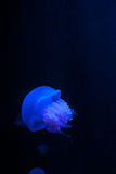 Single White Spotted Jellyfish in Blue Water Stock Photo