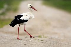 Single White Stork bird on a grassy meadow during the spring nesting period royalty free stock photo