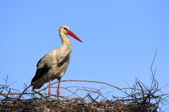 Single white Stork bird on a nest during the spring nesting peri. Od Royalty Free Stock Photos