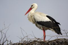 Single white Stork bird on a nest during the spring nesting peri. Od Stock Photography
