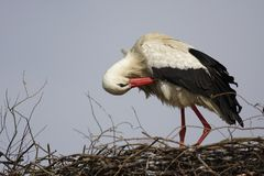 Single white Stork bird on a nest during the spring nesting peri. Od Royalty Free Stock Images