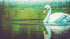 Single white swan cleanes his feather on lake, water reflection. Single white swan cleanes his feather, plumage, swiming in dark water with beautiful lake Stock Photos