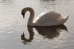 A single white swan in the early morning sunshine royalty free stock image