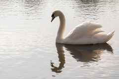 A single white swan in the early morning sunshine stock images