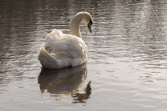 A single white swan in the early morning sunshine royalty free stock images