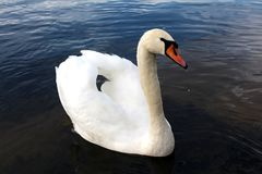 Swan gliding with lifted wings and water dripping from beak. Single white swan gliding through river with lifted wings and water drops dripping from beak Royalty Free Stock Images