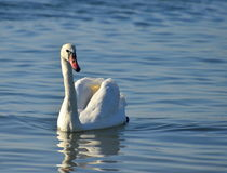 Single white swan Royalty Free Stock Images