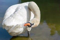 Single white swan Stock Photos