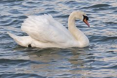 A mute swan on the River Itchen Stock Images