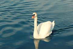 Swan swimming in the pond. Single white swan swimming in the pond royalty free stock image