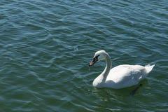 Single white swan swims on blue sea water Stock Photos