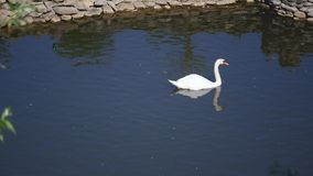 Single white swan swims on dark water in lake royalty free stock photo