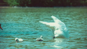 Single white swan swims with kids on reflected water in lake stock footage