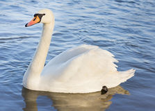 Single white swan on the water Stock Photos