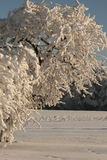 Single white three. Snow cover the village, frozen branches of the tree Stock Photography