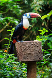 Single White-throated toucan ( tucan) bird. Sitting on a branch in natural surroundings royalty free stock image