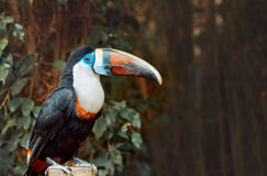 Single White-throated Toucan (Ramphastos tucanus), Royalty Free Stock Images