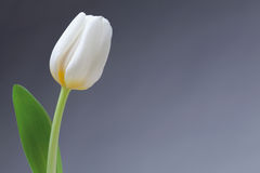 Single white tulip Stock Photos