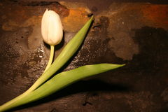 Single white Tulip. Resting on Slate Stock Photos