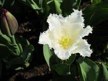 Single white tulip. Beautiful single white tulip Stock Image