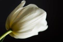 Single white tulip on a black background. horizontal Royalty Free Stock Photos