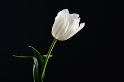 Single white tulip on a black background. horizontal. space for Royalty Free Stock Images