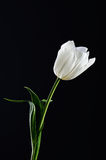 Single white tulip on a black background. vertical. space for te Royalty Free Stock Images